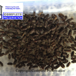 DEATHWATCH BEETLES, DEATHWATCH BEETLE IMAGE, woodworm survey wiltshire, woodworm survey wiltshire